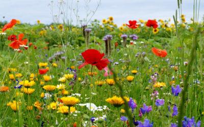 Rasenflächen in Blühflächen umwandeln – gemeinsam Lebensraum für Insekten schaffen & erhalten
