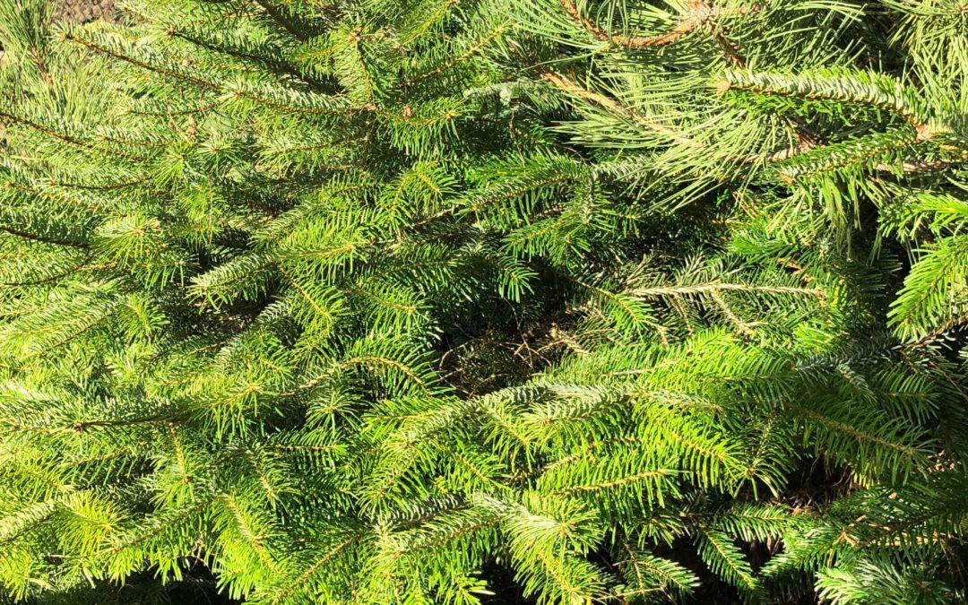 Plastikbäume können einheimisch, duftende Weihnachtsbäume nicht ersetzen